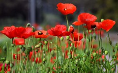 Poppy flowers (mkumar.photographer001) Tags: