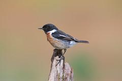 Stonechat (robin elliott photography) Tags: stonechat bird birds nikon outside outdoors wild wildlife feathers nikond850 nikon200500