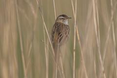 Acrocephalus schoenobaenus (robin elliott photography) Tags: stonechat bird birds nikon
