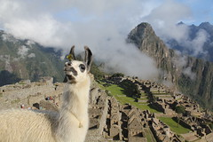 ¡Ola! (Iván Masip S.) Tags: peru llama macchupichu inca