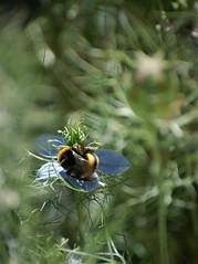 Bourdon genre Bombus (danielled61) Tags: bourdon bombus apidae butiner nectar nigelle printemps macro juin soleil vert bleu jaune noir jardin garden