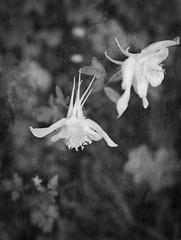 Aquilegias (judy dean) Tags: judydean 2019 garden lensbaby texture ps bw flowers columbine aquilegia white