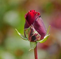 Rosebud (Matt C68) Tags: rose park plant flower bud rosebud red spider insects