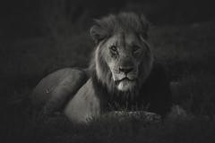 A King at Night.. (Coisroux) Tags: lions nightfall animals portrait blackandwhite monochrome wildlife southafrica kwandwe safari d850 nikond850 magicmoments lowkey lowlight hss