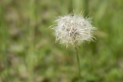 Dandelion flower (蒲公英). (Andy @ Pang Ket Vui ( shootx2 )) Tags: dandelion flower 蒲公英 macro fujifilm x100f nature green