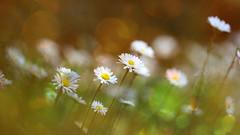 Springtime at floor level,... (Wim van Bezouw) Tags: sony ilce7m2 flowerbed flowers spring bokeh macro