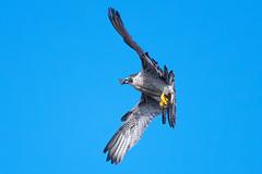 Scraps.......... (klythawk) Tags: peregrine falcoperegrinus falcon birdofprey wildlife nature spring wildandfree sunlight blue yellow grey black white nikon d500 300mmpf 14xtc belpereastmill belper derbyshire klythawk