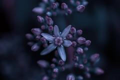 macro flower (Greg M Rohan) Tags: nikon d750 nikkor 2019 plant flower macro garden jade jadeplant bloom moneyplant macroflower closeup fleur 花 マクロ 宏