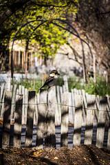 IMG_3582 (Kassy O'Shea) Tags: nature fence garden shadow bird kookaburra