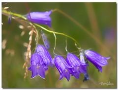 Bluebells at Paltinis-Romania (Betty Vlasiu) Tags: bluebells paltinisromania flowers nature mountain