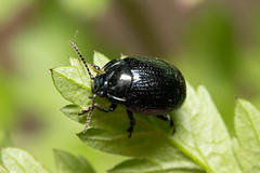 Chrysolina oricalcia (a leaf beetle) - Chrysomelidae - Ring Haw NR, Old Sulehay, Northamptonshire, UK (Nature21290) Tags: chrysolina chrysolinaoricalcia chrysomelidae coleoptera june2019 northamptonshire ringhaw uk insect