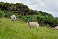 A flock of sheep grazing on an Irish hillside (Stephen_Lavery) Tags: animal branch bush domesticatedanimal farm farmanimal farmland field furze gorse grass ground hill incline ireland land landscape livestock longgrass mammal pasture rural rustic sheep slope stem suffolksheep terrain whin outdoors backgrounds nature natural plant foliage weed flock lamb mutton wool fleece uncultivated grazing eating agriculture meadow farming outdoor lambshank