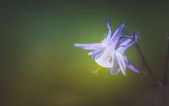Aquilegia (Dhina A) Tags: sony a7rii ilce7rm2 a7r2 a7r kaleinar mc 100mm f28 kaleinar100mmf28 5n m42 nikonf russian ussr soviet 6blades manualfocus aquilegia bokeh flower