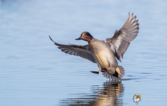 Teal (Simon Stobart) Tags: north east england uk teal anas crecca water touch down male