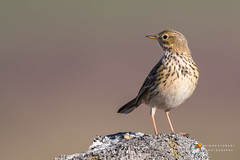 Meadow Pipit (Simon Stobart) Tags: north east england uk meadow pipit anthus pratensis stone wall