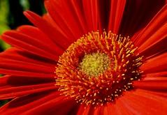 Orange FlowerPower (Uup115) Tags: daisy gerbera flower macro closeup cameraphone nokia7plus asteraceae compositae african leikkokukka pistil gynoecium stamen