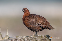 Red Grouse (Simon Stobart) Tags: north east england uk red grouse lagopus perched tree stump male