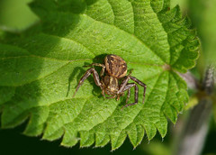 Crab Spider --- Xysticus cristatus (creaturesnapper) Tags: maplelodge araneae crabspiders spiders uk europe xysticuscristatus