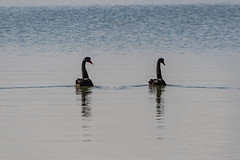 A pair of Black Swans on the River (Merrillie) Tags: blackswans portstephens natural wildlife twoofakind pair nature bird tanilbabay swans australia fauna native karuahriver animal