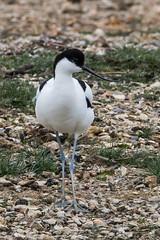 Avocet (billnharris228) Tags: birds keyhaven avocet