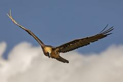 "Gipeto (Gypaetus barbatus) (""Marco50"" Marco Mattei) Tags: pirenei gipeto gypaetusbarbatus avvoltoio catalogna birdwatcher ngc wild wildlife"