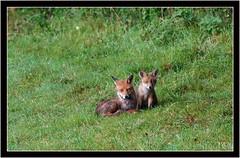 VIXEN & HER CUB (PHOTOGRAPHY STARTS WITH P.H.) Tags: vixen cub fox nikon d4s 500mm afs vr 14 teleconverter wimberley wh200 gimbal gitzo mk5 tripod devon