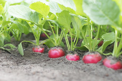 Radishes waiting in line (Jeff Camphens) Tags: radish greenhouse green nature grower vegetables vegetable nikon d3300 35mm