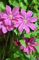 Clématite (RarOiseau) Tags: italie toscane fleur printemps monteriggioni clématite