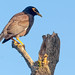 Myna (Common myna) bird on the tree, Thailand