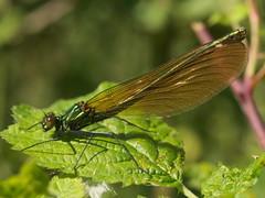 Banded Demoiselle (female) (John Spooner) Tags: fly damselfly insect green metallic hampshire wing shiny panasonic lumix gx80 gx85 olympus 60mm macro summer bandeddemoiselle