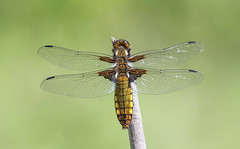 Broad-bodied Chaser (Libellula depressa). (Bob Eade) Tags: broadbodiedchaser dragonfly odonata female sussex summer woodland wildlife insect
