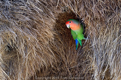 The Colors of Love (pdxsafariguy) Tags: parrot wildlife green colorful animal lovebird nature africa bird feather beak wing namibia nest grass keetmanshoop rosyfacedlovebird agapornisroseicollis tomschwabel