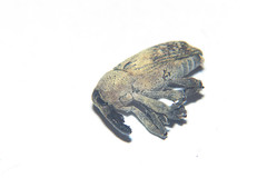 Tree Weevil (Curculionidae), playing dead (GeeC) Tags: tatai animalia nature coleoptera arthropoda curculionidae insecta kohkongprovince cambodia curculionoidea beetles snoutbeetles weevils