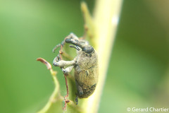 Tree Weevil (Curculionidae) (GeeC) Tags: tatai animalia nature coleoptera arthropoda curculionidae insecta kohkongprovince cambodia curculionoidea beetles snoutbeetles weevils