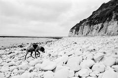 An interesting stone on a beach-full of stones (Richie Rue) Tags: beach dog stones rocks pebbles seaside cliffs coast eastcoast yorkshire flamborough minolta foma fomafomapan100 rodinal 35mm monochrome blackandwhite bw film analogue ishootfilm istillshootfilm filmsnotdead outdoors mindfulphotography contemplativephotography sniffing interest inspection filmdev:recipe=12264 film:brand=foma film:name=fomafomapan100 film:iso=100