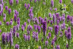 Orchis négligés (Oric1) Tags: nature breizh france eos oric1 côtesdarmor 120300mm sigma sport brittany bretagne 22 armorique canon fleur flower orchid orchidée jeanlucmolle sigma120300mmf28dgoshsmsports