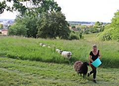 Rachel Léobet attire les moutons avec de la nourriture.
