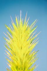 American Desert (Thomas Hawk) Tags: america arizona chihuly dalechihuly desertbotanicalgarden papagopark usa unitedstates unitedstatesofamerica desert sculpture phoenix fav10