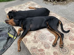 Back To Back Dobermann Pinschers - Enjoying The Sunny Weather (firehouse.ie) Tags: dog dogs doberman dobie pinscher saxon k9 dobe gabbana dobermann dobey dobies dobermans dobes pinschers dobermanns dobeys nature animal animals chien perro hund