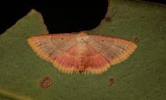 Geometrid Moth (Sterrhinae, Geometridae) (John Horstman (itchydogimages, SINOBUG)) Tags: insect macro china yunnan itchydogimages sinobug entomology canon moth lepidoptera sterrhinae geometridae fbipm