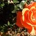 orange rose, ours