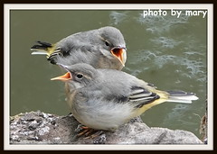 Young wagtails (I think) (maryimackins) Tags: wagtails young wildlife kent mary mackins