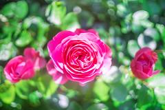 (kuuan) Tags: canon m39 ltm canonltmf1835mm 1835 f1835mm mf manualfocus canonm39f1835mm sonya7 ilce7 wideopen bokeh flower rose