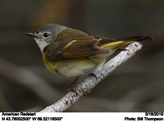 American Redstart (Bill.Thompson) Tags: americanredstart setophagaruticilla male me birds