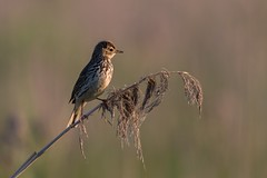 Meadow pipit (JS_71) Tags: nature wildlife nikon photography outdoor 500mm bird new spring see natur pose moment outside animal flickr colour poland sunshine beak feather nikkor d500 wildbirds planet global national wing eye watcher