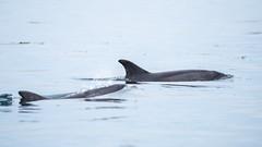 En binôme (Laura Carrier) Tags: grand dauphin tursiops truncatus dolphin common bottlenose al lark bretagne breizh illeetvilaine ille et vilaine mer ocean baby bébé adulte juvénile laura carrier