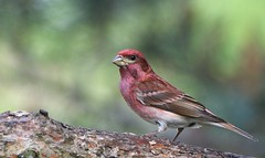 Purple Finch (hd.niel) Tags: purplefinch finches birds songbirds nature photography ontario photos wildlife male seedeating bill spring pines