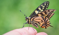Swallowtail on hand (David Brooker) Tags: papilio machaon britannicus human hand fingers swallowtail butterfly