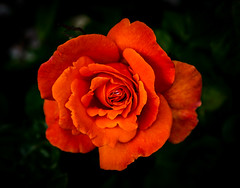 Rose (judy dean) Tags: garden judydean june 2019 35mm flowers rose orange