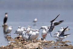 Landing (miTsu-llaneous) Tags: bird animal nature wildlife naturephotography wildlifephotography naturescenes kenya nakuru lakenakuru national park nikon lake africa safari travel explore adventure birds gulls flight flying d500 nikond500 tamron 150600 perspective low